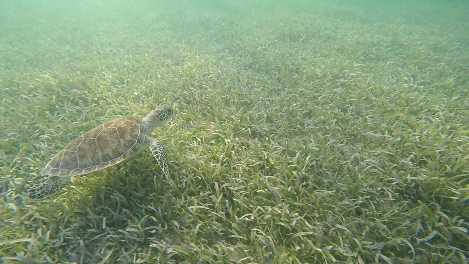 underwater picture of a turtle at chenay bay